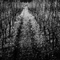 Vines in Staufen (Germany), 2011